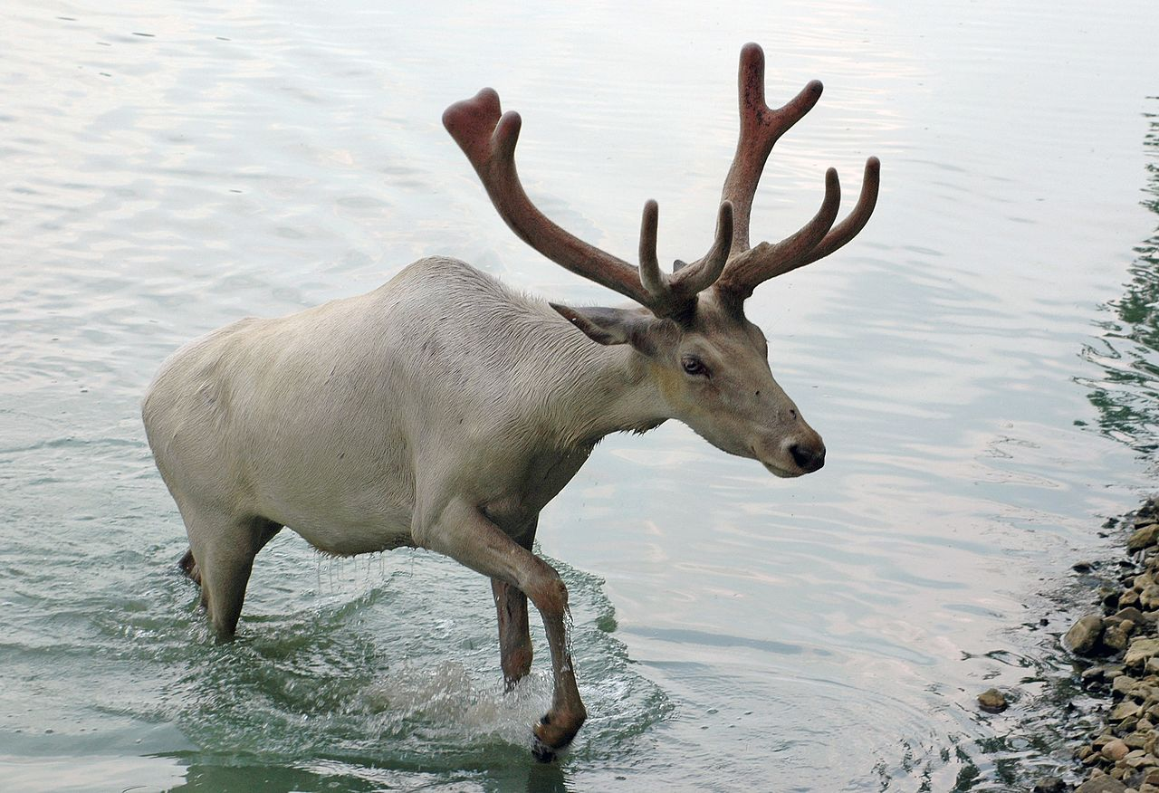 US Votes To Allow Oil Drilling In Arctic Wildlife Refuge Caribou from Wagon Trails