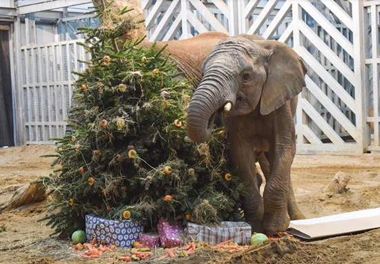 Many Zoos Accept Donated Christmas Trees To Feed Animals With Christmas Zoo A