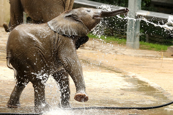 Elephants Think Humans Are Cute Just Like We Think Puppies Are GettyImages 543870394