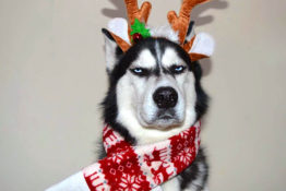 This grumpy husky went viral for his christmas card photoshoot faces