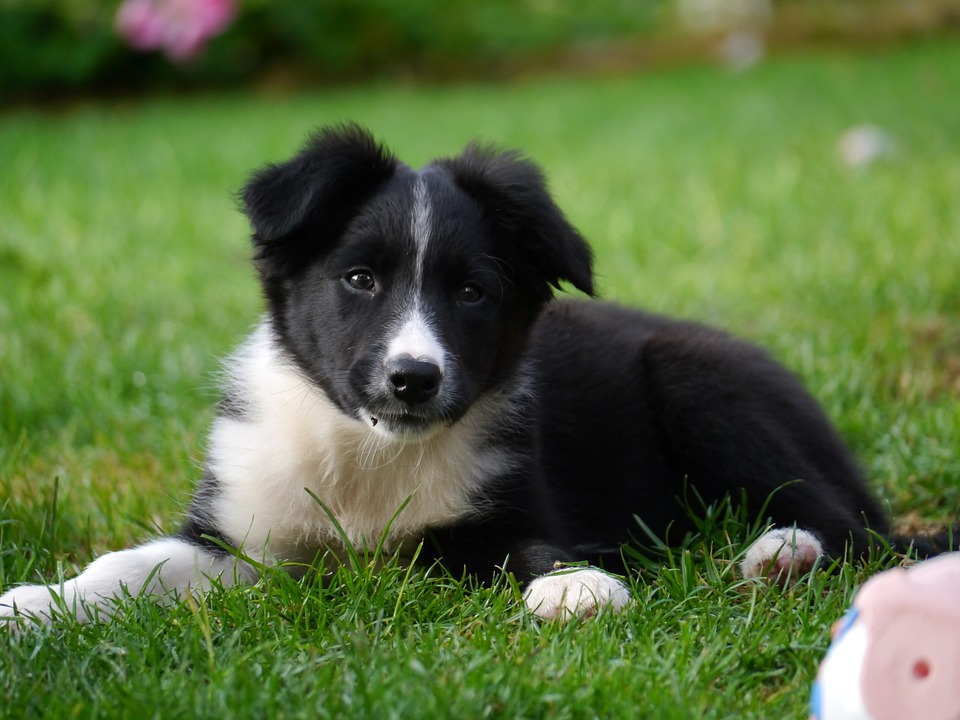 Leading Dog Charity Suspends Adoptions Over Christmas border collie 1167898 960 720