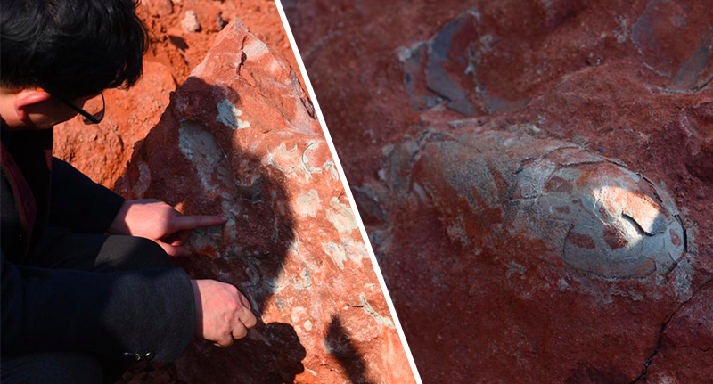 130 Million Year Old Dinosaur Eggs Discovered Perfectly Preserved dino eggs fb