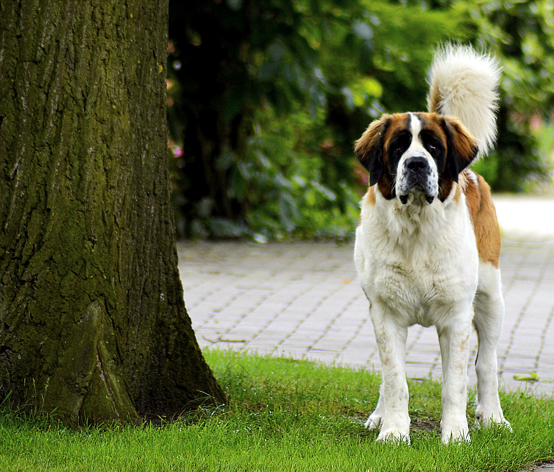 Owning A Dog Can Cost More Than £25,000 st bernard 2638737 1920