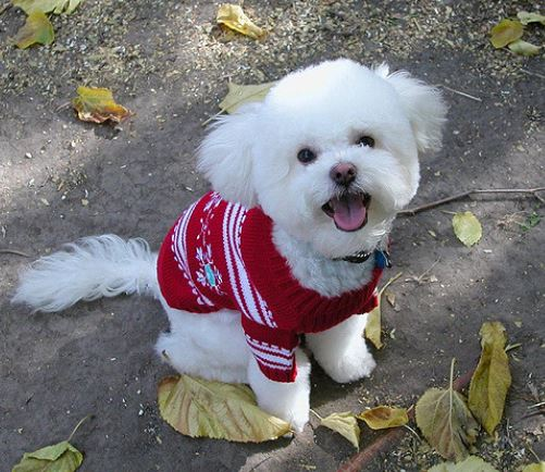 Aldi Releases Matching Christmas Jumpers For You And Your Dog white dog red jumper