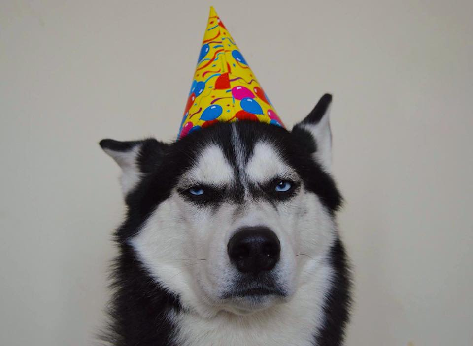 Grumpy Husky Celebrates Fourth Birthday, Grumpily 26166395 334607123614406 3310564407283758979 n