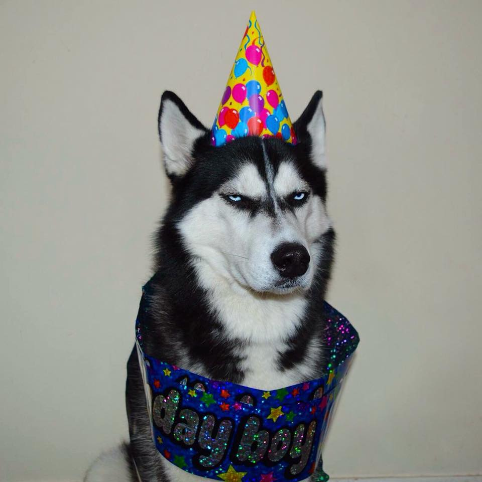 Grumpy Husky Celebrates Fourth Birthday, Grumpily 26168938 334607140281071 6098469151367024485 n