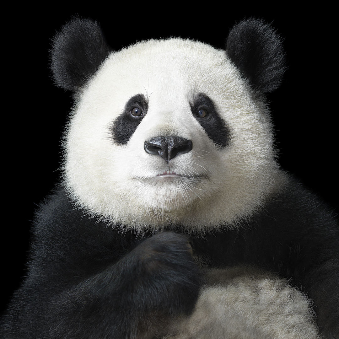 Stunning Photos Of Animals On The Brink Of Extinction Because Of Humans AP Panda Portrait XLarge copy