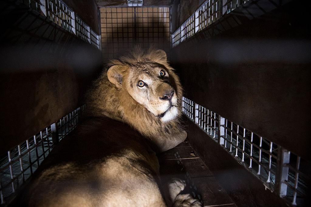 Wild Animals Banned From Circuses In Britain GettyImages 526592226