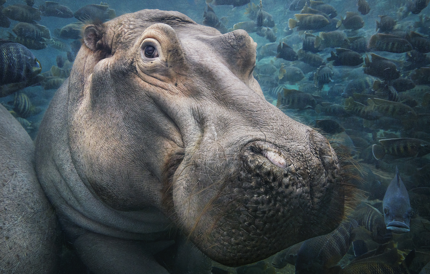 Stunning Photos Of Animals On The Brink Of Extinction Because Of Humans Hippopotamus Underwater SH 400PPI copy