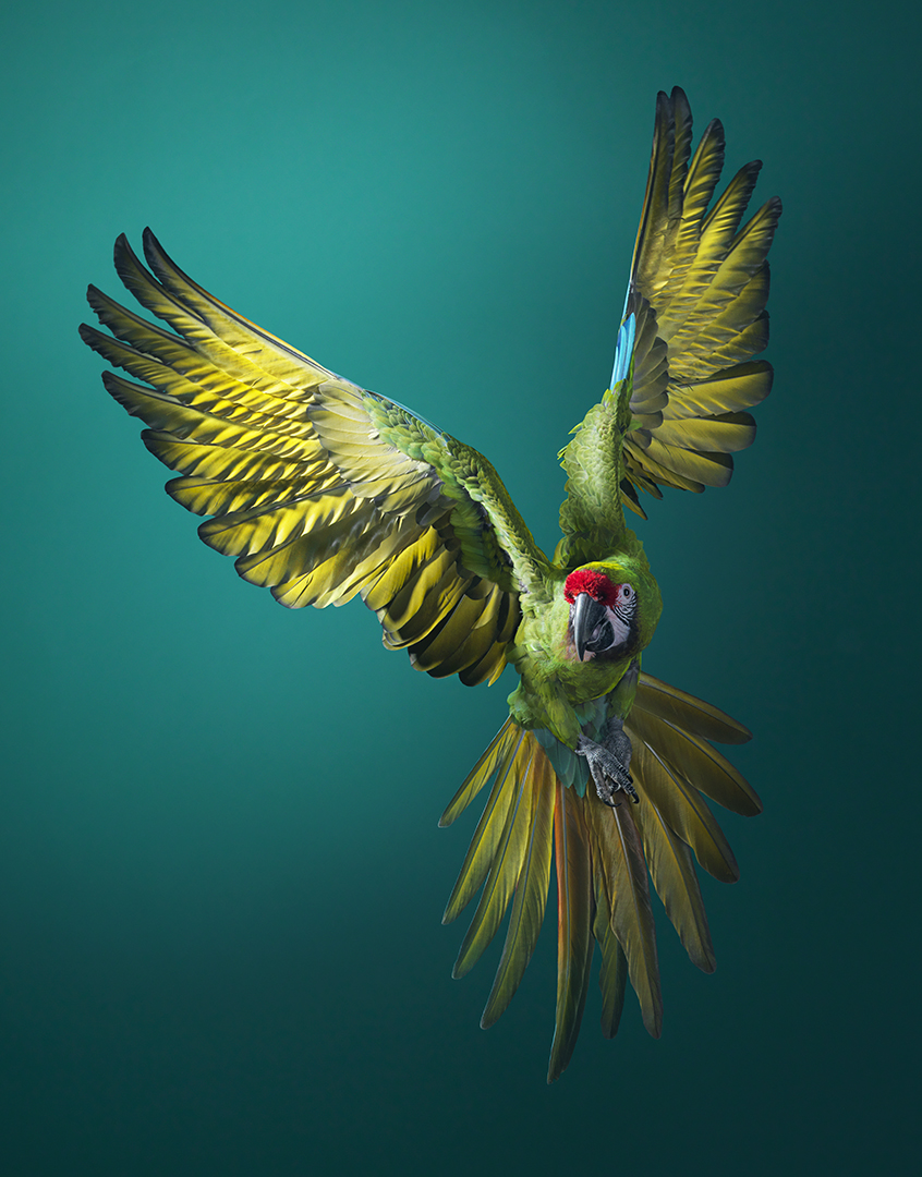 Stunning Photos Of Animals On The Brink Of Extinction Because Of Humans Military Macaw Flying Front On SH 400PPI copy