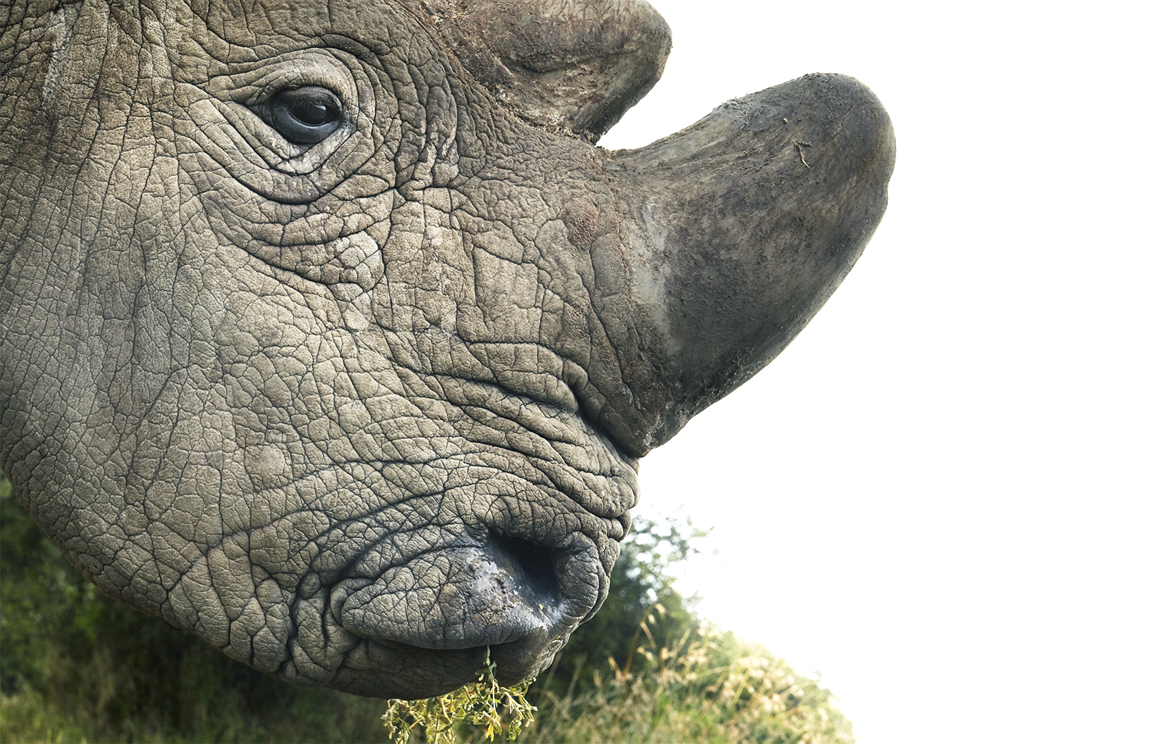 Stunning Photos Of Animals On The Brink Of Extinction Because Of Humans Northern White Rhinoceros Closeup Portrait copy