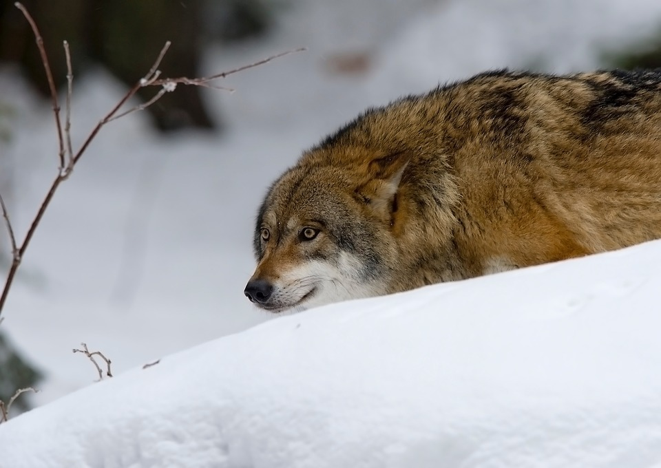 Wolf Found Living In Wild For First Time In Over 100 Years Pack Animal Wolf Predator 2145949