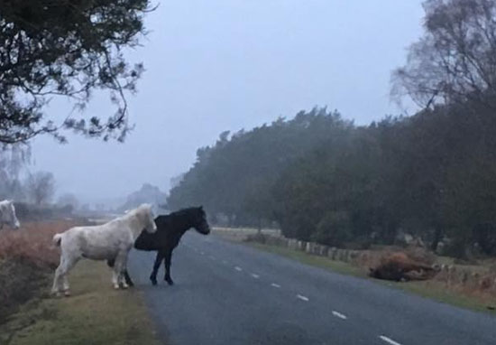 Grieving Ponies Stand Guard Over Mare Killed By Motorist PonyKilled2