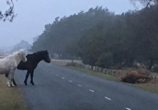 Grieving Ponies Stand Guard Over Mare Killed By Motorist PonyKilled3