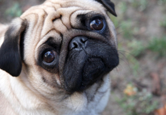 A Pug Was Arrested In America And Their Mugshot Is Incredible Pug A