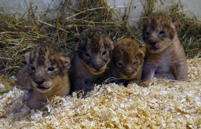 Zoo Admits Killing Nine Completely Healthy Lion Cubs Screen Shot 2018 01 12 at 10.36.23