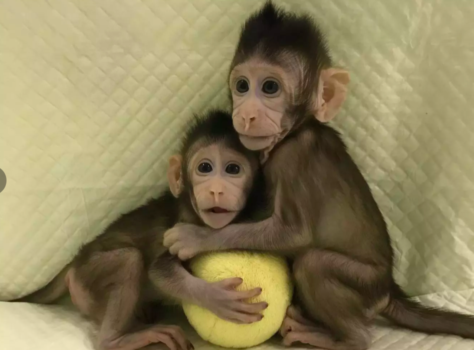 Scientists Clone Monkey In Remarkable World First Screen Shot 2018 01 24 at 17.18.30 949x700