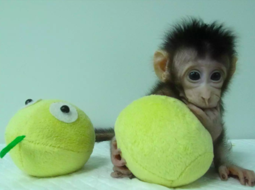 Scientists Clone Monkey In Remarkable World First Screen Shot 2018 01 24 at 17.18.46