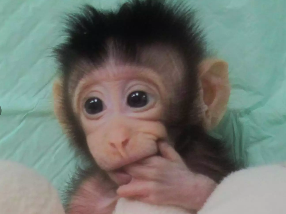 Scientists Clone Monkey In Remarkable World First Screen Shot 2018 01 24 at 17.29.28 932x700