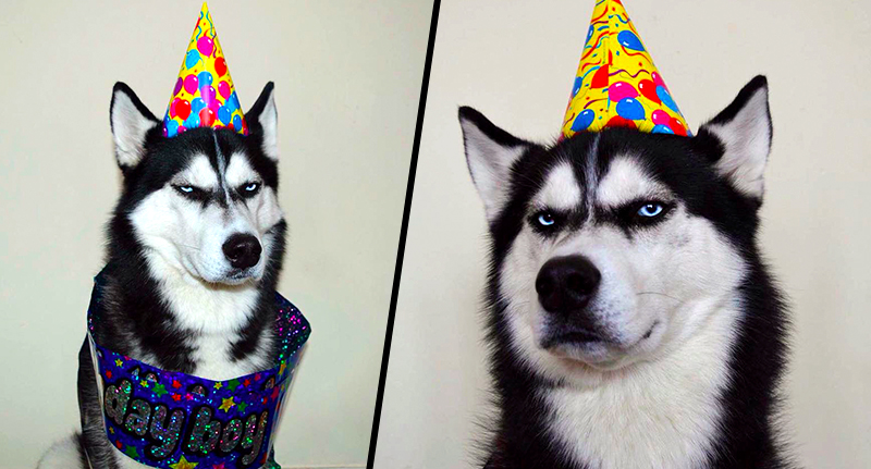 Grumpy Husky Celebrates Fourth Birthday, Grumpily anuko bday fb