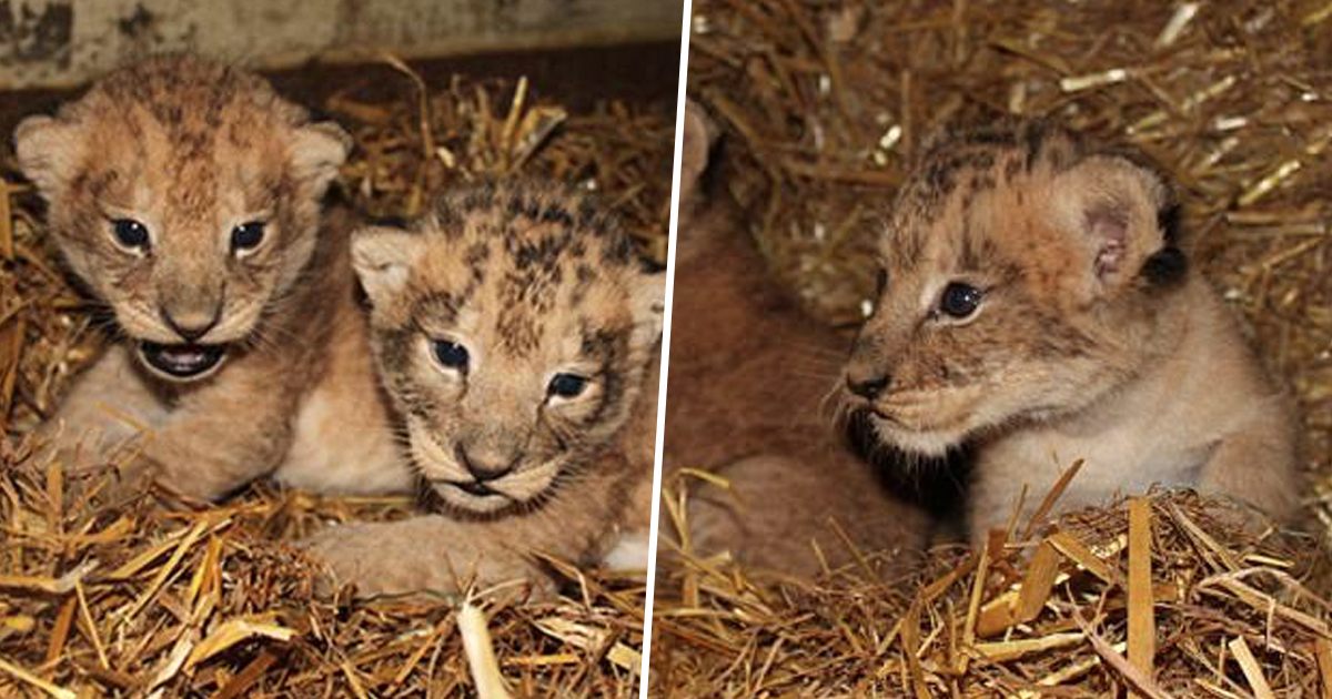 Zoo Admits Killing Nine Completely Healthy Lion Cubs cubdeaththumbnail