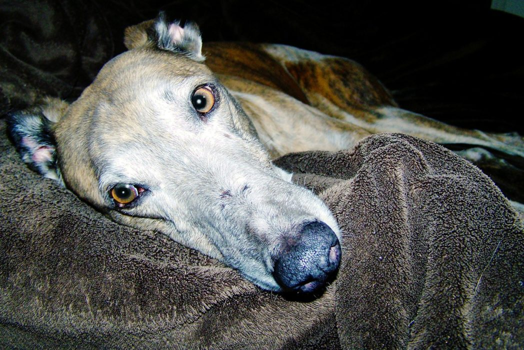 The Grim Reason Greyhounds Are Being Given Cocaine dog 280417 1280 1048x700