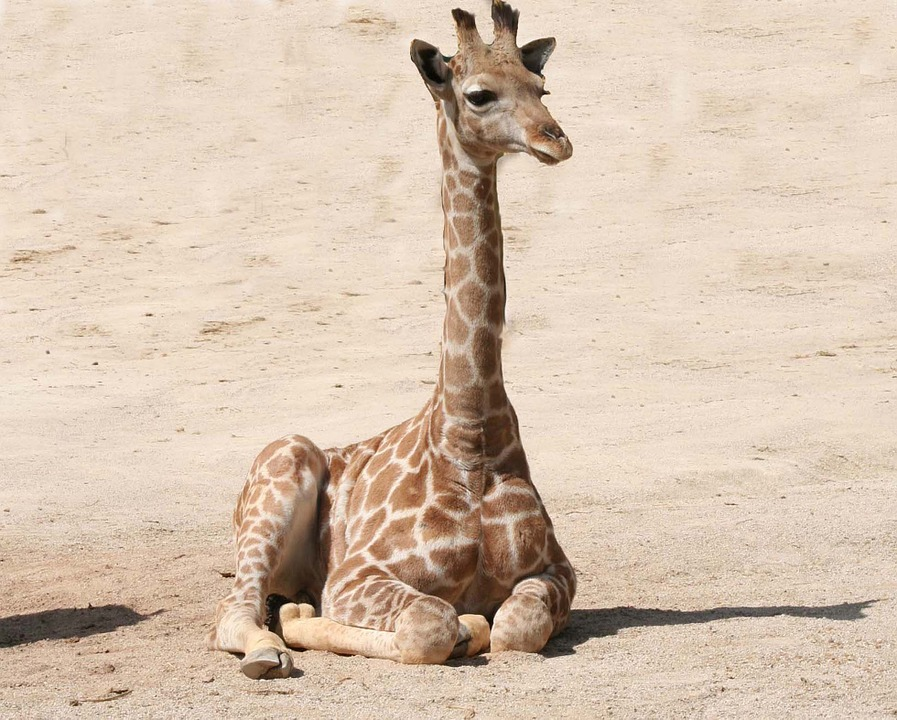 Chester Zoo Needs Someone To Look After All The Giraffes giraffe 1024589 960 720