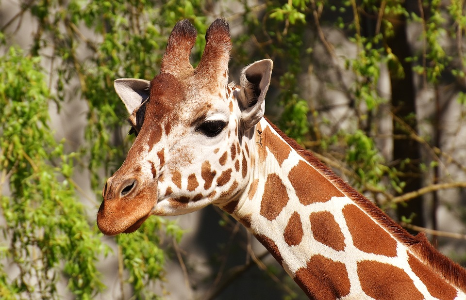 Chester Zoo Needs Someone To Look After All The Giraffes giraffe 2219955 960 720