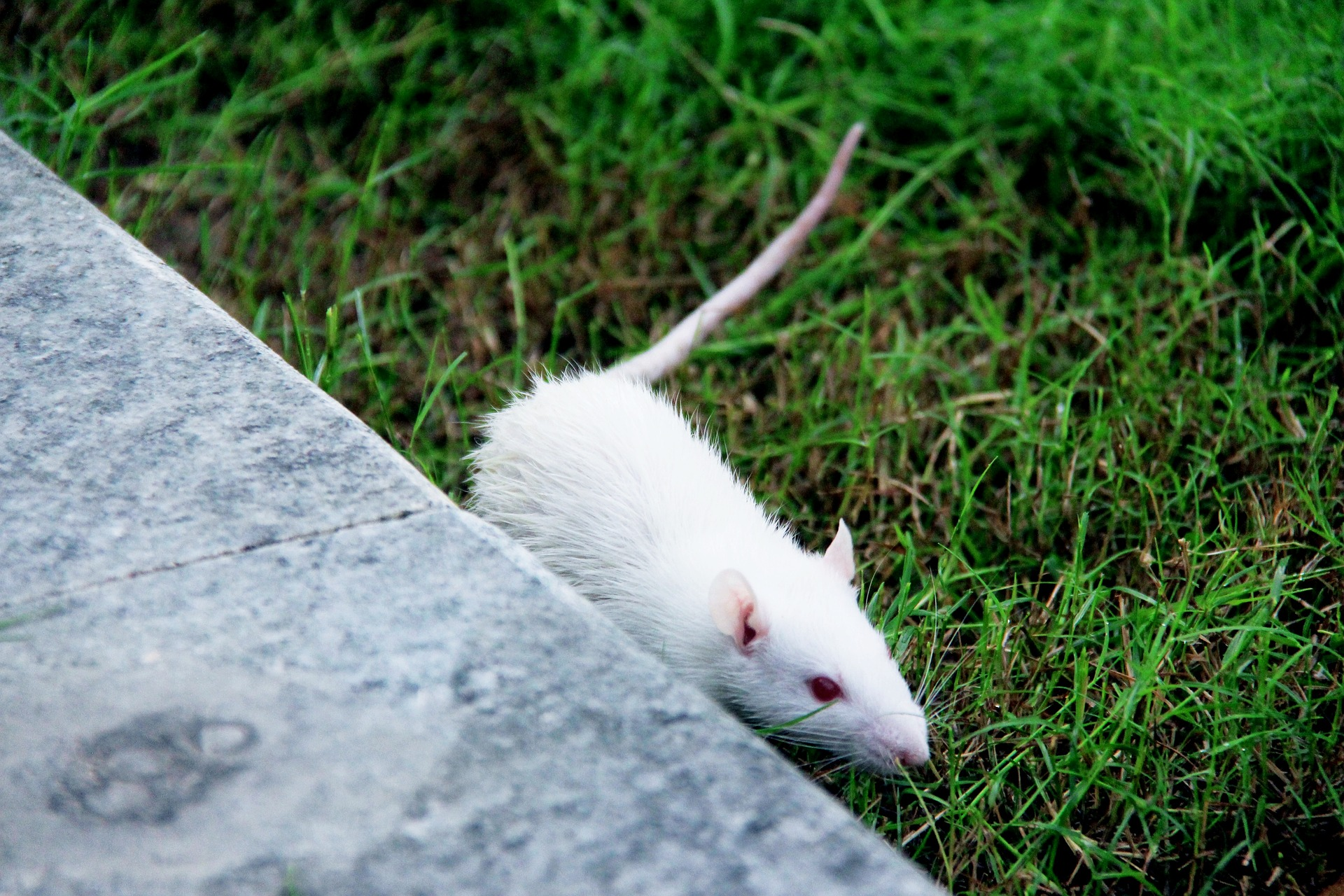 Researchers Say Theyve Found A Way To Stop Humans Ageing rat 1540844 1920