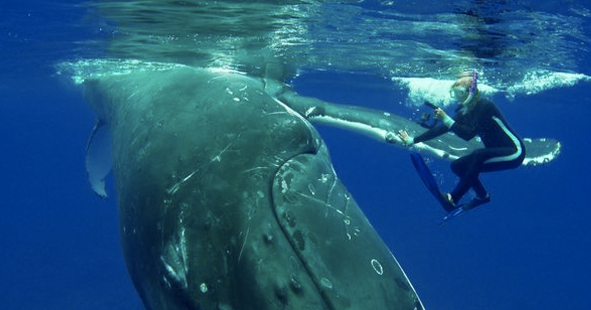 Whale Saves Snorkeler From Shark By Hiding Her Under Fin whale1