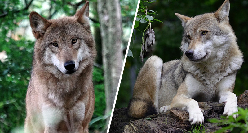 Wolf Found Living In Wild For First Time In Over 100 Years wild wolf fb 1