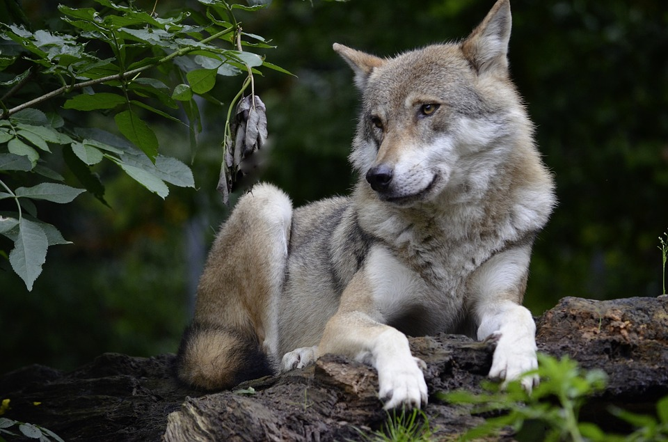 Wolf Found Living In Wild For First Time In Over 100 Years wolf 1336231 960 720