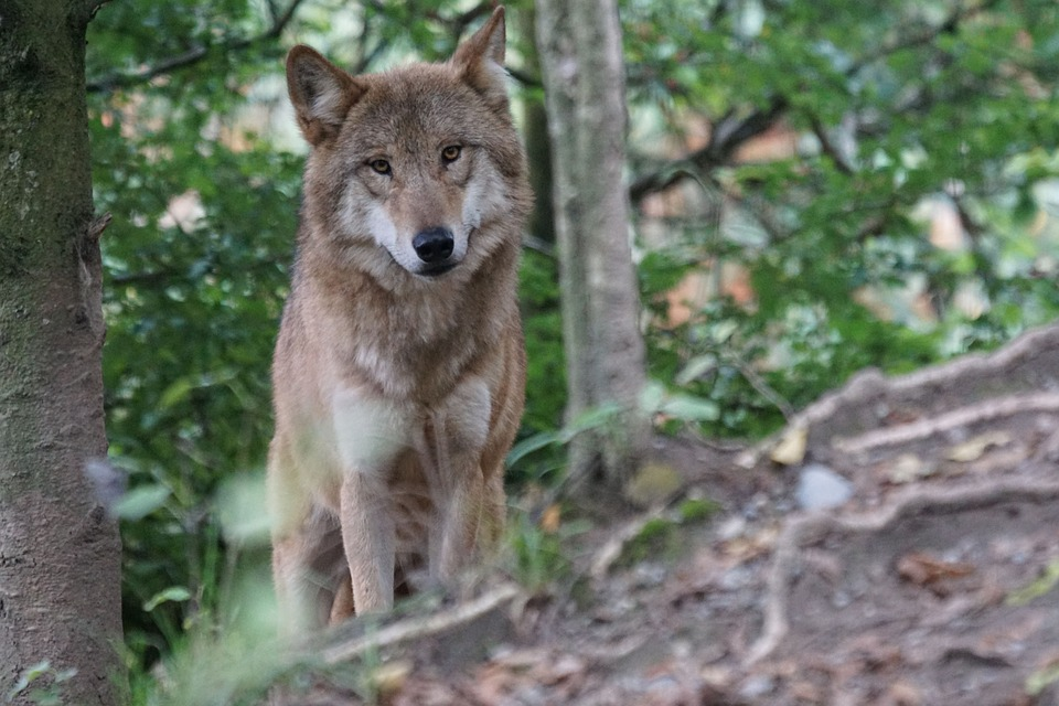 Wolf Found Living In Wild For First Time In Over 100 Years wolf 931227 960 720