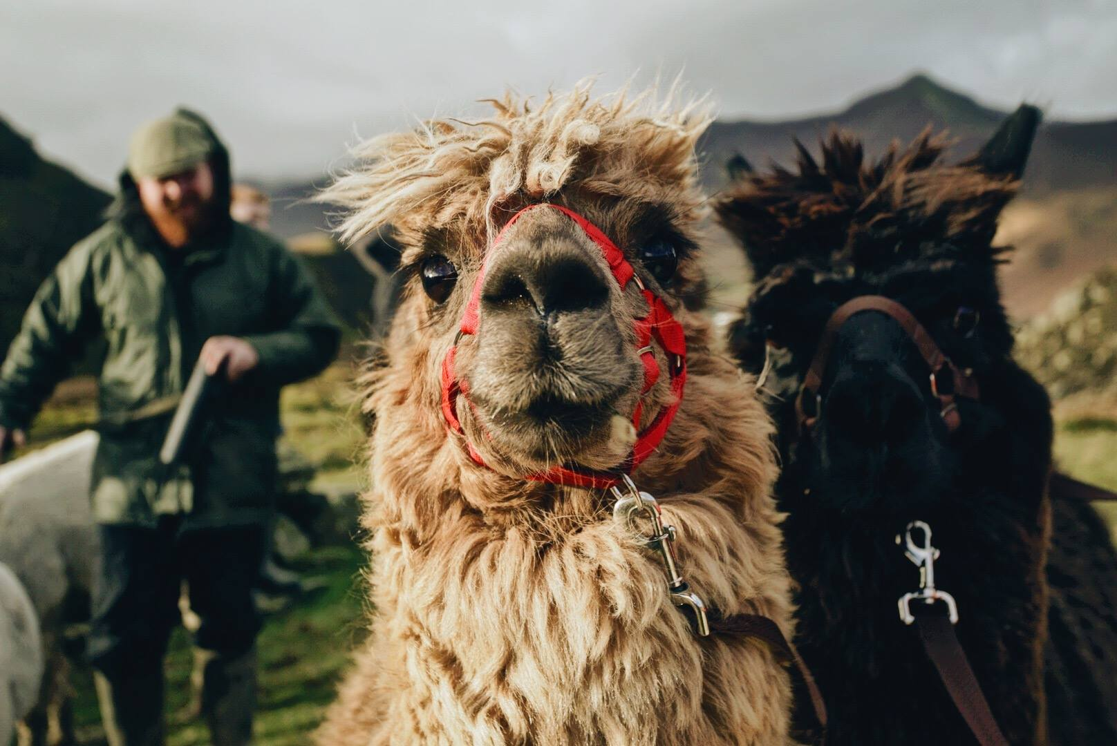 Rescue Alpacas Start Animal Therapy For At Risk Kids 27355601 1130511467052573 806655913079701321 o 1