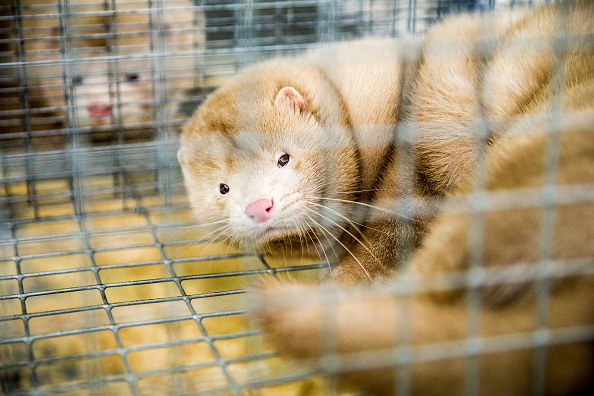 Over A Billion Animals Die Every Year As A Result Of The Fur Industry GettyImages 612879442