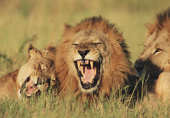 Poacher Eaten By Pride Of Lions He Was Trying To Kill Lion web