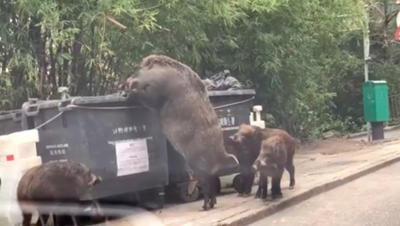 Giant Wild Boar Spotted Rummaging Through Bins Outside Primary School Screen Shot 2018 02 12 at 07.41.10