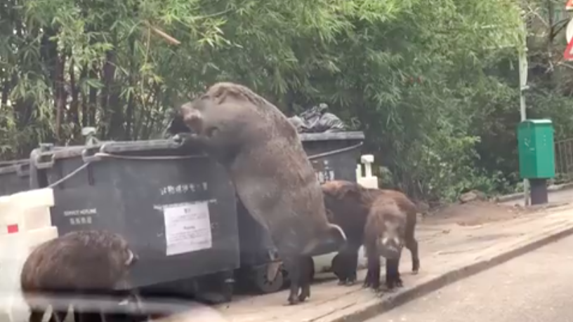 Giant Wild Boar Spotted Rummaging Through Bins Outside Primary School Screen Shot 2018 02 12 at 07.41.27