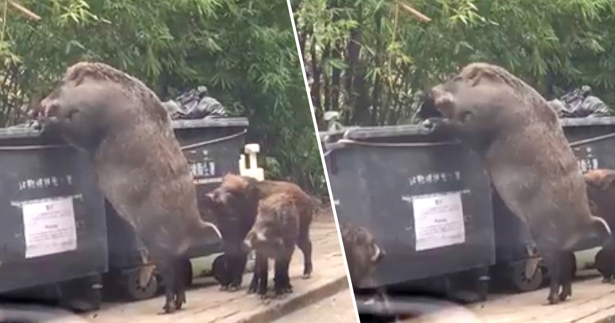 Giant Wild Boar Spotted Rummaging Through Bins Outside ... Giant Wild Boars In Asia