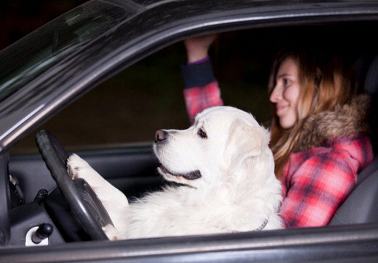 Brits To Be Hit With £2,500 Fine For Driving With Pets DrivingWithPets2