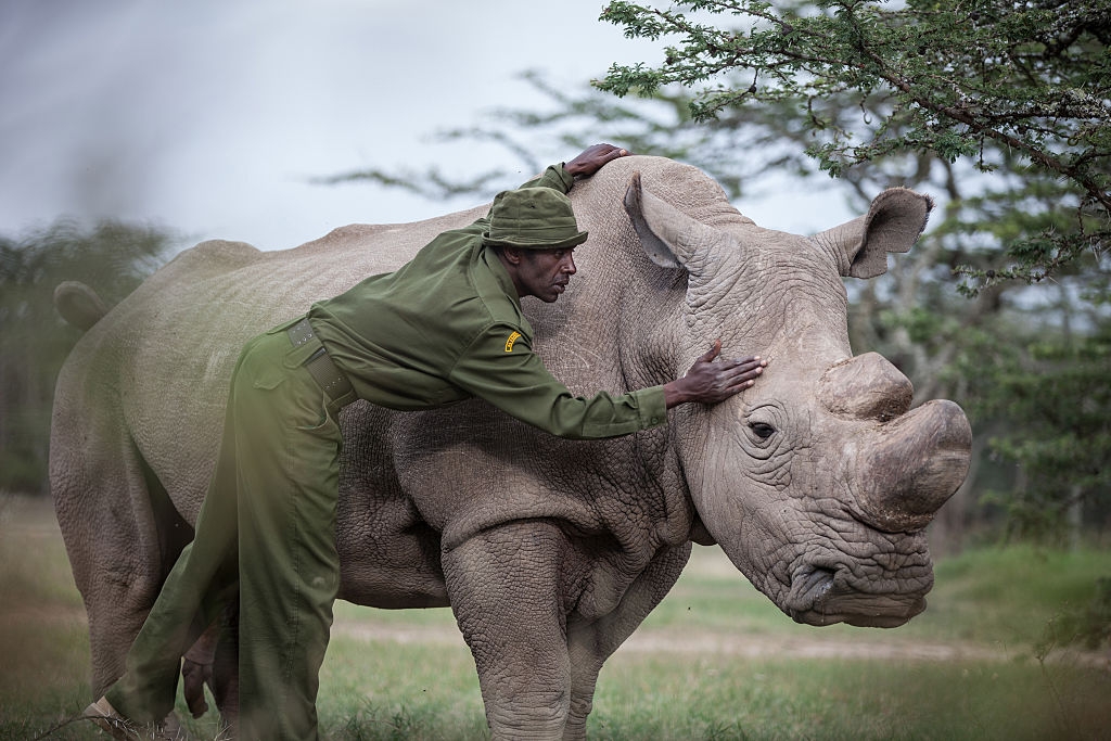 A rhino is protected by an anti-poacher