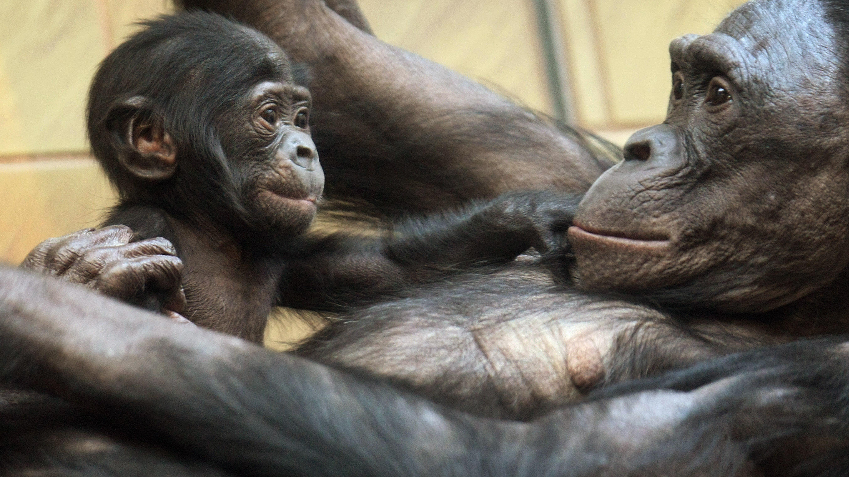 baby bonobo plays with its mother