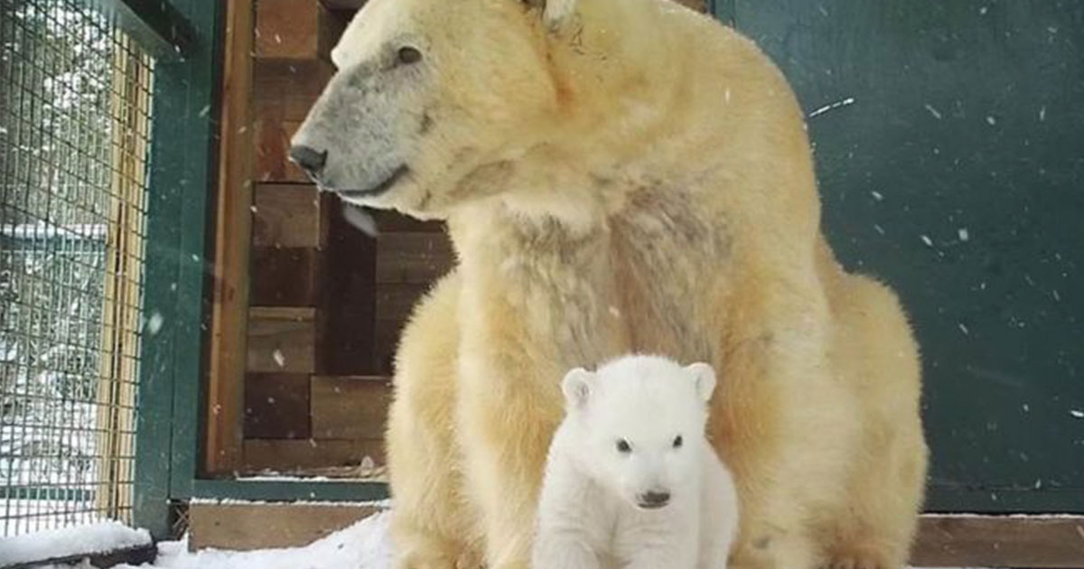 First UK Polar Bear Cub In 25 Years Emerges From Den polarbearFaceThumb