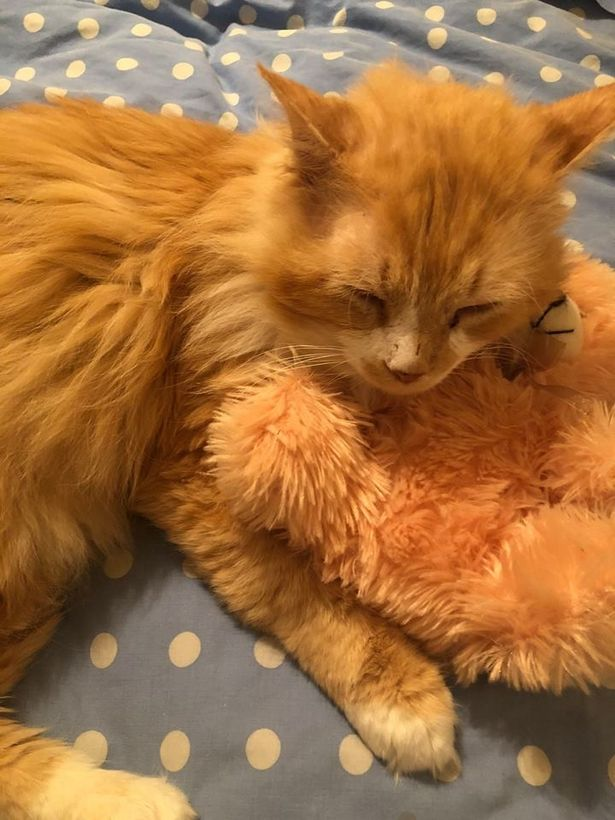 Cat Walks 12 Miles To Find Family But They Ask For Him To Be Put Down