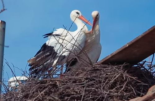 Male Stork Flies 14,000km Every Year To See Female Partner That Cant Fly Screen Shot 2018 04 17 at 13.25.33