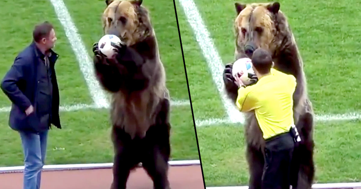 Bears Could Be Used To Deliver Match Ball At World Cup In Russia