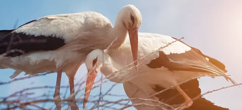 Male Stork Flies 14,000km Every Year To See Female Partner That Cant Fly fd585fb25ad4c535f4aa92f8bdb95a33