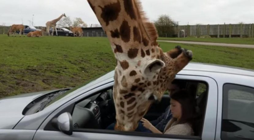 Giraffe Tragically Dies After Getting Head Stuck Between Two Trees In Zoo giraffe1 828x455 1