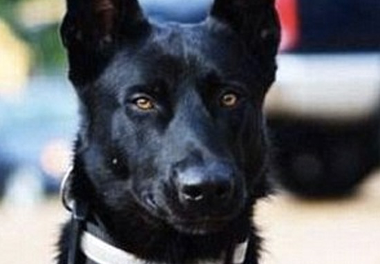 Gang Drags Cop Into Woods To Kill Him, Don't See Police Dog Coming