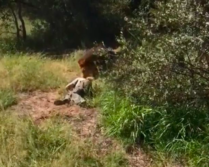 A lion has been shot dead 'for being a wild animal'